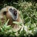 White-handed Gibbon (Hylobates lar) calling