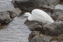 Little Egret - With an itch 502_2576.jpg (Mobile Lynn) Tags: egret birds littleegret nature bird fauna wildlife yaiza canaryislands spain coth specanimal