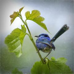 Fairy Wren (Tartan Ranga) Tags: bird birds beauty blue birdsong male artistic artphotography australia australian texture tree leafs green attractive