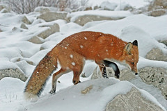 The Hard Life (marylee.agnew) Tags: vulpes snow red fox winter hard cold life death help kindness care