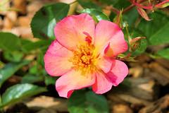 P1010662 (alainazer) Tags: marseille provence france fiori fleurs flowers rose colori colors couleurs