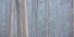 Fire blues (OzzRod) Tags: pentax k3 smcpentaxda50135mmf28 bushfire smoke haze blue forest nswfarsouthcoast