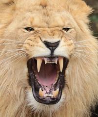 african lion Dembe artis BB2A0130 (j.a.kok) Tags: animal artis africa afrika afrikaanseleeuw africanlion mammal zoogdier dier pantheraleoleo predator leeuw lion dembe