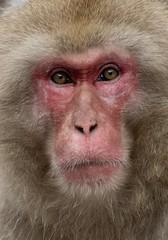 I'm watching you (tokyoshooter) Tags: f4 12100mm em1x olympus portrait monkey snow jigokudani nagano japan