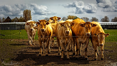 Behind A Wire (Alfred Grupstra) Tags: cow cattle agriculture farm ruralscene livestock animal pasture field nature grass meadow dairyfarm outdoors grazing herd mammal ranch beef summer everypixel 876