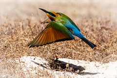 Rainbow Bee Eater leaving nest (burrow in the sand) (pkwebbk70) Tags: meropsornatus rainbowbeeeater bird australianbird sandycreekconservationpark summer nest burrow beeeater canoneos90d flyingbird flyingrainbowbeeeater leavingnest