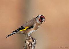 Goldfinch (Frank Gardiner- No Awards Please-Comments Welcome) Tags: birdsofthebritishisles finches goldfinch cardueliscarduelis