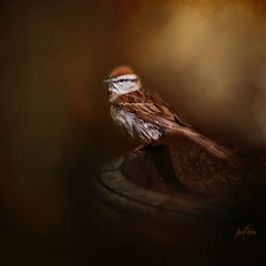 Chipping Sparrow.....(Explored) (Patlees) Tags: chippingsparrow textured dt explore 43 frontpage
