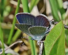 Bläuling (Hugo von Schreck) Tags: hugovonschreck bläuling butterfly schmetterling macro makro insect insekt canoneos5dsr tamron28300mmf3563divcpzda010