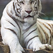 White tiger posing well
