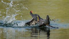 Moorhen fighting (Franck Zumella) Tags: moorhen galinule poule eau nature fight lutte water lake lac bataille duel black noir bird oiseau wildlife action color colors couleur