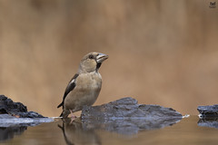 Bico-grossudo, Hawfinch (Coccothraustes coccothraustes) (Nuno Xavier Moreira) Tags: bicogrossudo hawfinchcoccothraustescoccothraustesemliberdadewildlifenunoxavierlopesmoreirangc animals animais aves de portugal observação nature natureza selvagem pics wildlife wildnature wild photographer birds birding birdwatching em bird ao ar livre ornitologia ngc nuno xavier moreira nunoxaviermoreira liberdade national geographic all xpress us natureandnothingelse coccothraustescoccothraustes hawfinch