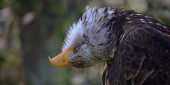 Sometimes it's good to see the world in another way! (pe_ha45) Tags: baldeagle weisskopfseeadler haliaeetusleucocephalus greifvogel birdofprey raptor falconry falknerei fauconnerie