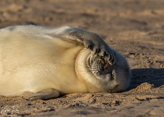 Grey Seal Pup - Explore #73 13-01-2020 (Karen Roe) Tags: canon grey zoom young sigma seal 7d pup mkii greyseal mark2 150600mm canon7dmkii county camera uk greatbritain winter season outside december day unitedkingdom britain outdoor norfolk telephoto gb 2019 female photography photo flickr photographer shot image wildlife picture visit snap photograph capture visitor karenroe life light sea wild naturaleza cold cute beach nature animal happy eos coast colours natur national naturephotography weather