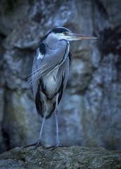 heron (try...error) Tags: austria wien vienna vienne autriche reiher graureiher grey nature urban zoo portrait