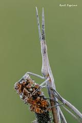 Truxalis nasuta (Raul Espino) Tags: canon100mml canon6dmarkii macro macrofotografia natural naturaleza sevilla heliconfbtube saltamontesnarigudo saltamontes truxalisnasuta acrididae
