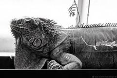 Grüner Leguan / Green iguana (photodesignette) Tags: leguan iguana echse lizard reptilien reptiles