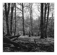 Protected forest near Ruwer spring (werner-marx) Tags: analog film meinfilmlab mediumformat superikonta superikontab superikonta53216 zeissopton tessar zeissoptontessar kellamsee reflection