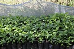 Tree seedlings on Sabina Otieno's Farm