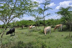 Cows grazing on an FMNR farm in Homa Bay County, Kenya