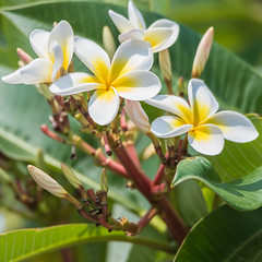 Yellow and White Frangipani Flowers in Bloom (Merrillie) Tags: frangipani woywoy flowers closeup floral newsouthwales nsw summer coastal beautiful bright flower gardens australia summertime flora frangipanis yellow tropical nature