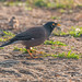 A Common Myna on the ground with dewdrops glistening in the sun