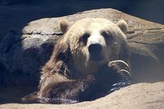 Washington Park Zoo (Tiger_Jack) Tags: indiana washingtonparkzoo zoo zoos zoosofnorthamerica zoosoftheworld itsazoooutthere bears bear bea