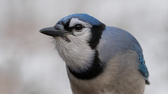 Bothersome Blue Jay (jakegurnsey) Tags: bird bluejay smallbird wildlife birds birding animal ontario canada 100400mm f4556 gm