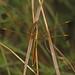 Yellow-sided Skimmer - Libellula flavida, Boykins Springs Recreation Area, Zavalla, Texas