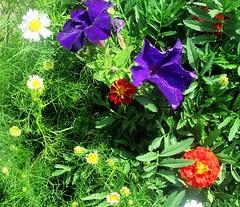 Цветочный калейдоскоп (lvv1937) Tags: flickrunofficial sunsetslandscapesandflowers photography flowersblossomsinblueblumenblüteninblau coloursofflickr ilovenature ромашки бархотки сад fantasticnaturegallery❣naturenopeople❣p1a2