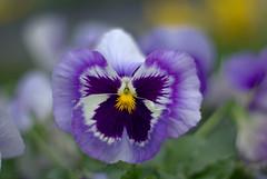 Deep Purple (M42Junkie) Tags: pentaxk10d mamiyasekor55mm14m42 bokeh m42 macro macrotubes m42mount vintagelens vintagesensor oldlens flower flowers purple yellow green sanantonio texas wideopen