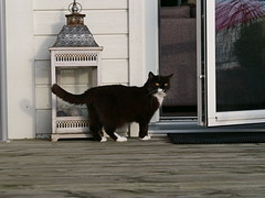 Going in... (vanstaffs) Tags: tussi tuzz tuxedocat t tux tusse tutu tuzz® myprettytuxedogirl