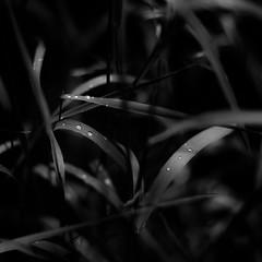 Mist Pooling On Leaves 021 (noahbw) Tags: captaindanielwrightwoods d5000 dof nikon abstract blackwhite blackandwhite blur bw dark darkness depthoffield dreamlike dreamy droplets forest grass leaves light lowlight mist misty monochrome natural noahbw quiet rain spring square still stillness water waterdrops wet woods