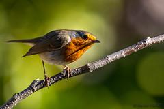 Rouge gorge (jean-louis21) Tags: oiseaux rouge gorge