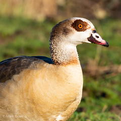 Egyptian Goose (markgosling94) Tags: nikon nature wildlife bird egyptiangoose goose egyptian