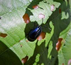 Chrysomelidae - Agelastica alni - Alder Beetle (gailhampshire) Tags: chrysomelidae agelastica alni taxonomy:binomial=agelasticaalni alder beetle