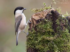 Willow Tit (Poecile montanus) (www.mikebarthphotography.com 2M Views thanks !) Tags: poecilemontanus willowtit