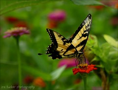 The greatest compliment that was ever paid me was when one asked what I thought.... (itucker, thanks for 5+ million views!) Tags: macro bokeh hmm hbm butterfly swallowtail duke gardens zinnia dukegardens