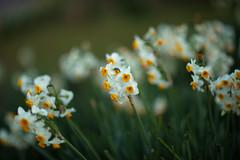 Narcissus tazetta var. chinensis (Jim Mayes) Tags: canon eos digital 85mm ef ef85mmf12lusm 大阪市立長居植物園