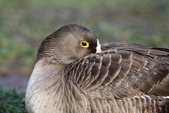 Lesser White-fronted Goose - Anser erythropus (Roger Wasley) Tags: lesser whitefronted goose ansererythropus bird
