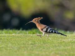 Hoopoe (alanrharris53) Tags: bird aves algarve portugal quintadolago golf course