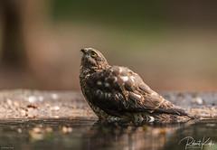 Bathing Eurasian Sparrow Hawk / Sperwer. (Jambo53 ()) Tags: europeansparrowhawk sperwer roofvogel birdofprey raptor crobertkok nikond800 netherlands