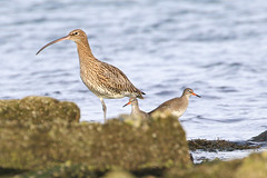 Curlew Redshank (Dougie Edmond) Tags: southayrshire scotland unitedkingdom bird water sea side nature wildlife
