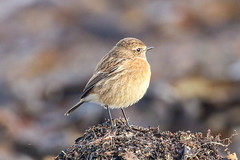 Stonechat (Dougie Edmond) Tags: southayrshire scotland unitedkingdom bird water sea side nature wildlife