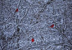 Winters Pallet (Matt Champlin) Tags: snow snowy winter cold chilly bird birds birding life nature red cardinal cardinals winterwonderland beautiful idyllic outdoors landscape canon 2019 peaceful home skaneateles