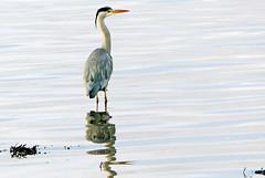 Grey Heron (eric robb niven) Tags: eric robb niven heron wildlife nature springwatch scotland dundee river tay