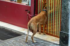 DSC_0970 copia (muttiandrea2) Tags: rules streetphotography photography photooftheday dog doggy fearofentry urban urbanphoto shop rulesofshop