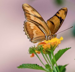 Last Chance (ACEZandEIGHTZ) Tags: macro lantana flyinginsect dryasiulia orangejulia flowers closeup nikond3200 nature nectaring butterfly bokeh wings winged coth alittlebeauty coth5 sunrays5