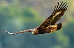 Golden eagle Jr (Thy Photography) Tags: california bird nature animal backyard outdoor wildlife sunset sunshine sunrise dawn dusk thyphotography eagle raptor prey goldeneagle birdofprey sonya9ii