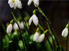 Snowdrops in January 2020 in the garden (Ostseetroll) Tags: winter geotagged deutschland deu schleswigholstein schneeglöckchen scharbeutz pönitzamsee geo:lat=5403894873 geo:lon=1068918286 olympus makroaufnahme macroshot galanthus em10markii